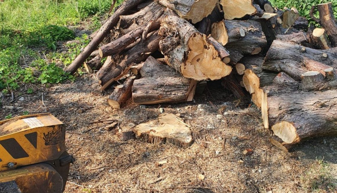 Tree stump grinding conifer tree stumps at Wimbish, near Saffron Walden, Essex. Here we have 13 conifers tree stumps tha...