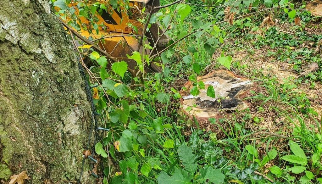 Tree stump grinding in Braintree, Essex. Here I had to remove two Norway Spruce tree stumps. The tree stumps weren't par...