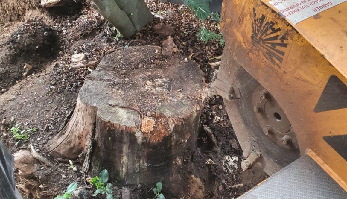 Tree stump grinding in Bishops Stortford, Hertfordshire, Essex. This particular tree stump had been cut down several yea...