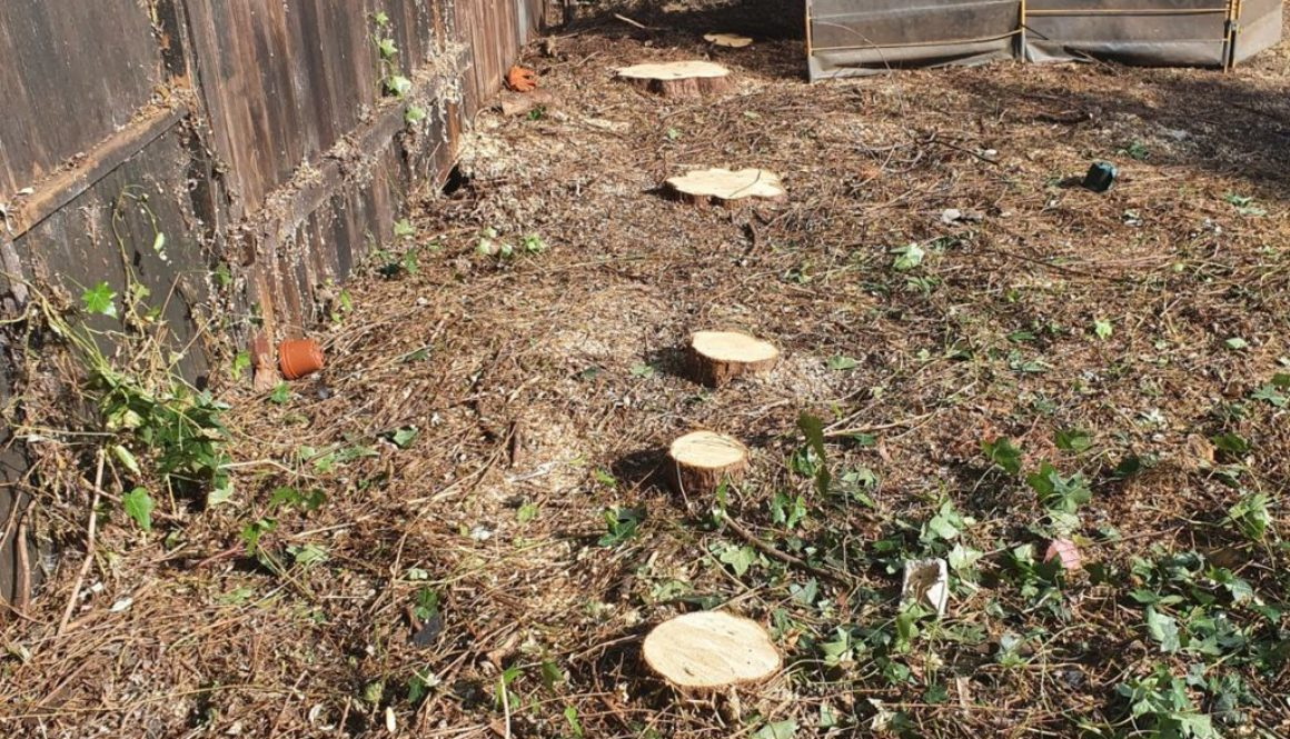 Tree stump grinding in Hutton, near Brentwood, Essex. Here I removed a row of conifer tree stump's of various sizes to m...